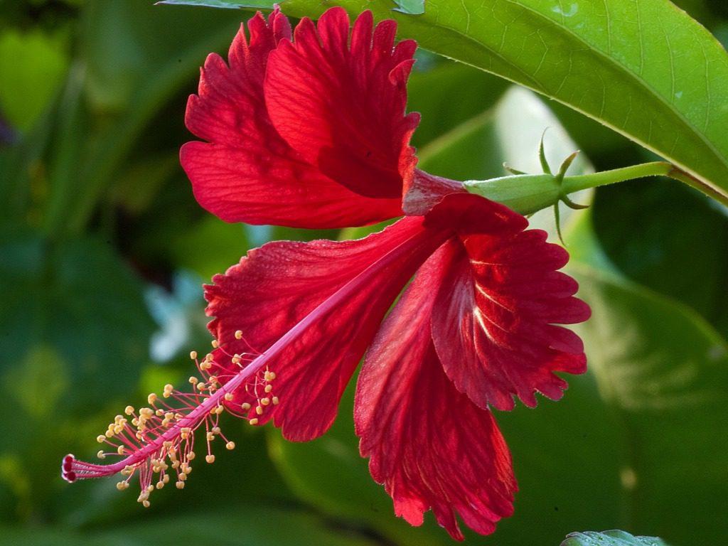 Hibiscus Peace River Botanical Sculpture Gardens