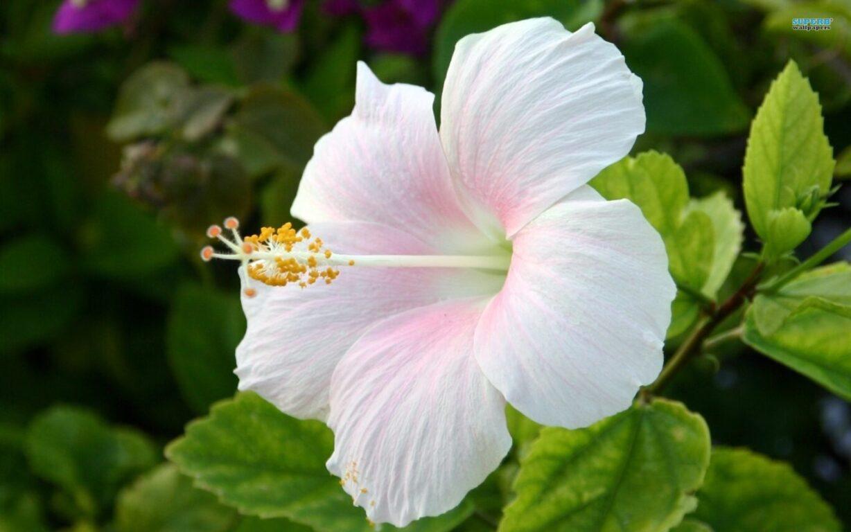 Hibiscus peace river botanical sculpture gardens hibiscus flower izmirmasajfo