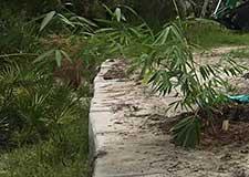 D.Asper Bamboo and Shaving Brush Tree lantings