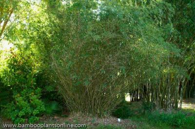 Fernleaf Bamboo