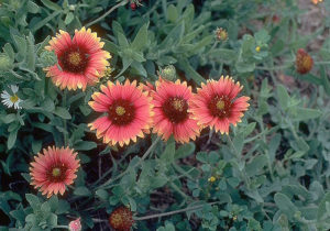 photo of botanical Blanket Flower