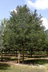 photo of cathedral oak tree