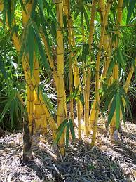 Hawaian Gold Bamboo