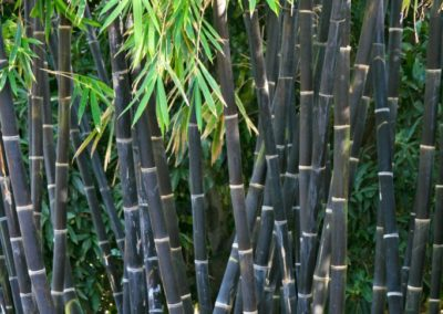 Java Black Bamboo