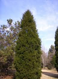 southern red cedar