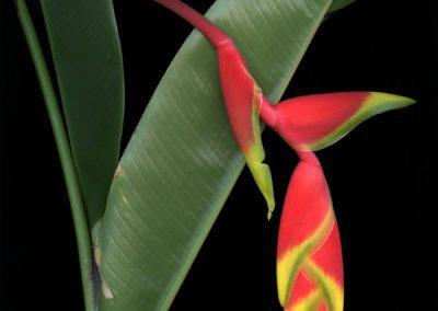 parrot leafweb